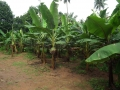 Banana_Tree_from_Kerala_5002